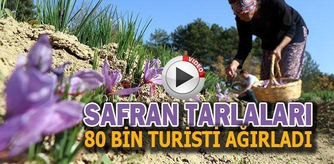 SAFRAN TARLALARI 80 BİN TURİSTİ AĞIRLADI